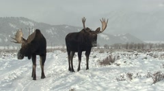 Moose Bull Adult Pair Standing Winter Snow Stock Footage