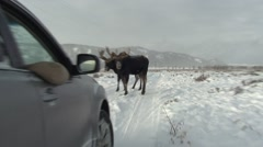 Moose Bull Adult Pair Winter Car Road - stock footage