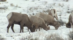 Bighorn Sheep Ram Ewe Adult Several Feeding Winter Snow - stock footage