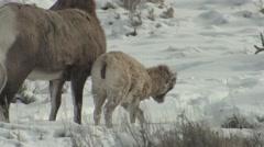 Bighorn Sheep Ewe Adult Young Pair Winter - stock footage