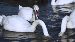 Swans looking for food in the river, steadycam shot, slow motion shot at 240fps Stock Footage
