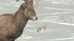 Bighorn Sheep Ram Immature Lone Walking Winter - stock footage