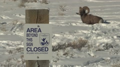 Stock Video Footage of Bighorn Sheep Ram Resting Winter Sign National Wildlife Refuge