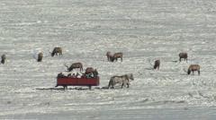 Elk Winter Sleigh Ride Viewing Tourism Wildlife Stock Footage