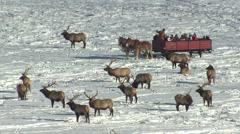 Elk Bull Adult Herd Winter Sleigh Ride Viewing Tourism Wildlife Stock Footage