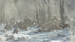 Elk Herd Walking Winter Riparian Area Steam Cold - stock footage