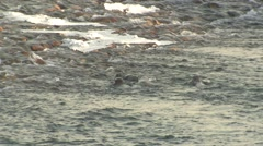 River Otter Family Swimming Winter Stock Footage