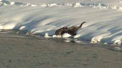 River Otter Family Grooming Winter Snow Frolicking Stock Footage