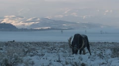 Moose Bull Adult Lone Feeding Winter Dawn - stock footage