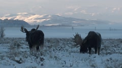 Moose Bull Adult Pair Feeding Winter Dawn - stock footage