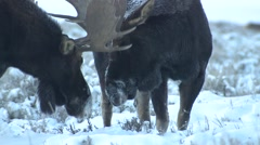 Stock Video Footage of Moose Bull Adult Pair Feeding Winter Dawn Sparring Playing Antlers Closeup