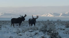Stock Video Footage of Moose Bull Adult Pair Feeding Winter Dawn Pushing Antlers