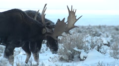 Stock Video Footage of Moose Bull Adult Pair Playing Winter Antlers