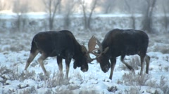 Moose Bull Adult Pair Fighting Winter - stock footage