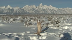 Moose Winter Antler Stock Footage