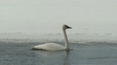 Trumpeter Swan Adult Lone Swimming Winter Stock Footage