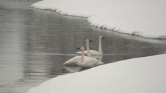 Trumpeter Swan Several Winter Stock Footage