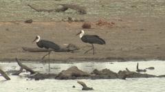 Marabou Stork Pair Walking Winter - stock footage