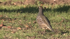 California Quail Male Adult Lone Winter Stock Footage