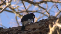 Acorn Woodpecker Adult Lone Collecting Winter Acorns Holes Caching Storing Stock Footage