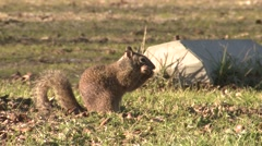 California Ground Squirrel Adult Feeding Winter Acorn Stock Footage