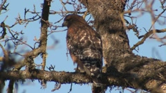 Red-shouldered Hawk Lone Winter Stock Footage