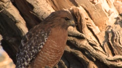 Red-shouldered Hawk Lone Winter Closeup Stock Footage