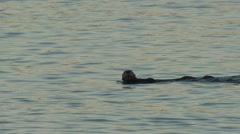 Stock Video Footage of Sea Otter Pair Swimming Winter Dawn