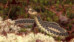 4K UHD 60fps - Common Garter Snake (Thamnophis sirtalis) Stock Footage