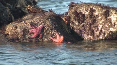 Stock Video Footage of Starfish Several Winter Tide Rocks