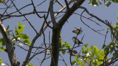 4K UHD 60fps - Tree swallow (Tachycineta bicolor) Stock Footage
