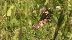 4K UHD 60fps - Butterfly Easter Black Swallowtail (Papilio polyxenes) - stock footage