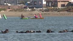 Sea Otter Many Winter Kayak Recreation Wildlife Watching - stock footage