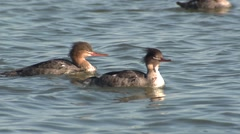 Red-breasted Merganser Winter Stock Footage