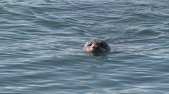 Harbor Seal Lone Swimming Winter Stock Footage
