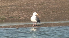 Herring Gull Lone Grooming Winter Stock Footage