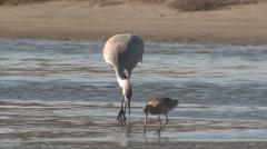 Sandhill Crane Lone Feeding Winter Estuary - stock footage