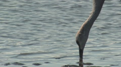 Sandhill Crane Lone Feeding Winter Estuary Stock Footage