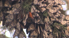 Monarch Many Resting Winter Wintering Congregation - stock footage