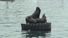 California Sea Lion Female Adult Young Resting Winter Floating Tire Bay - stock footage