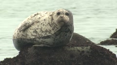 Harbor Seal Resting Winter Rock Stock Footage
