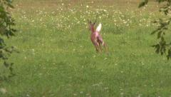 4K UHD 60fps - Spooked off deer jumping and running away in field with flowers - stock footage
