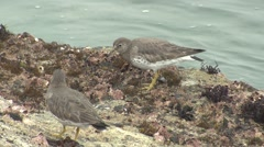Solitary Sandpiper Pair Feeding Winter Tidal Rocks Surf Shore - stock footage