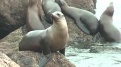 California Sea Lion Immature Several Winter Stock Footage