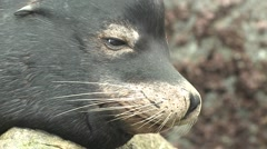 California Sea Lion Male Lone Sleeping Winter Nose Whiskers Closeup - stock footage
