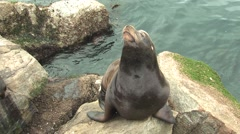 California Sea Lion Male Lone Winter - stock footage