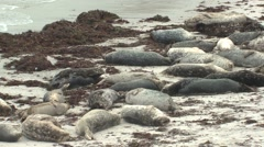 Harbo Seal Many Resting Winter Beach Stock Footage