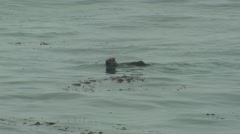 Sea Otter Lone Winter Surf Zoom Out - stock footage