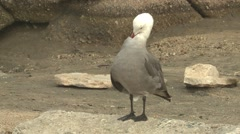 Heermanns Gull Lone Grooming Winter Stock Footage