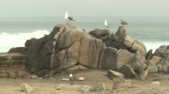 Herring Gull Adult Young Several Winter Ocean Rocks Stock Footage